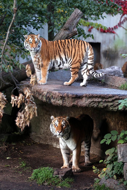 Tiger--(1)
