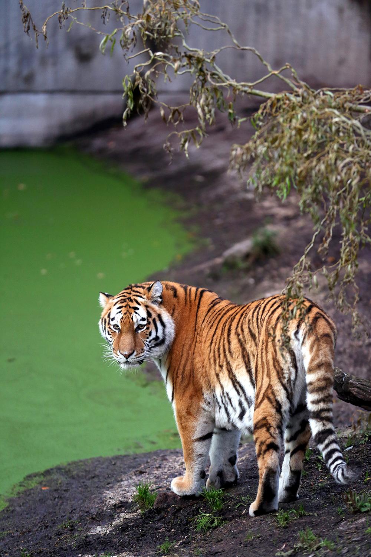 Tiger--(2)